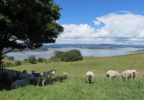 Schapen Whakatane Nieuwzeeland