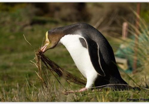 Penguin, Place, Dunedin, Otago, Albatros